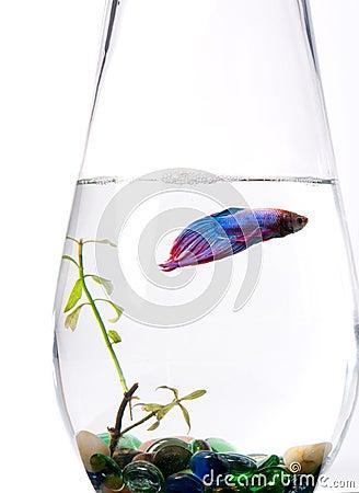 Blue/purple Siamese Fighting Fish - Betta Splenden