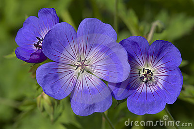 Blue and purple wild geranium