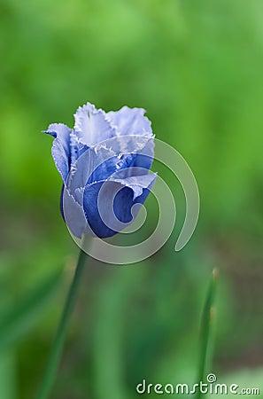 Blue rare tulip