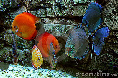Blue and red fishes in aquarium