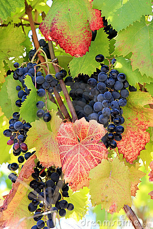 Blue ripe grapes and autumn leaves in Portugal