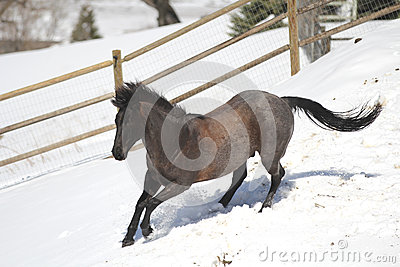 Blue Roan Quarter horse running in the snow.