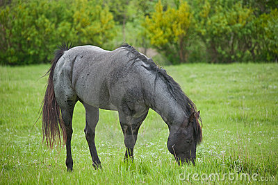 Blue roan quarter horse stud