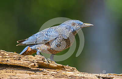 Blue Rock-Thrush, Bird