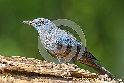 Blue Rock-Thrush (Monticola solitarius), Bird