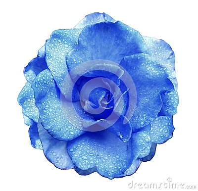 Free Blue Rose Flower  On White Isolated Background With Clipping Path  No Shadows. Rose With Drops Of Water On The Petals. Closeup. Royalty Free Stock Image - 100775656