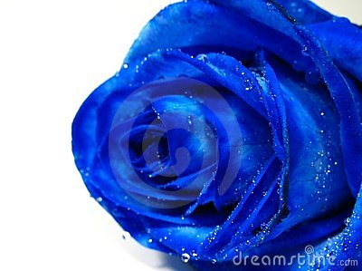 Blue rose with water drip