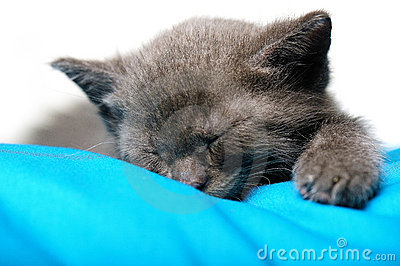 Blue Russian Cat Sleeping on Pillow