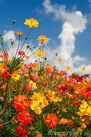 Free Blue Skies, White Clouds And Brilliant Wildflowers Royalty Free Stock Photos - 20822838