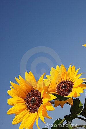 Free Blue Sky And Sunflowers Stock Image - 11251201