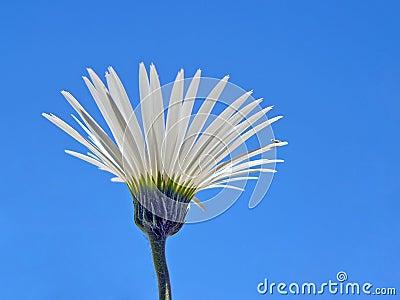 Blue Sky Daisy