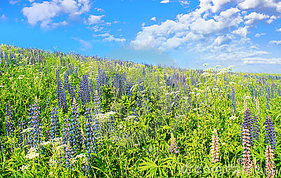 Blue sky, dark-blue flowers.