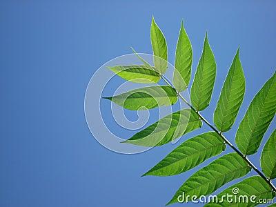 Blue Sky Leaf Frond