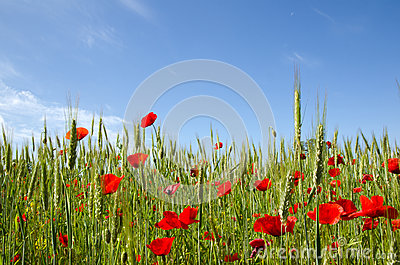 Blue sky and poppy field
