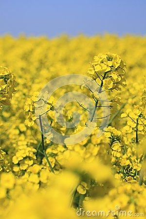 Blue  sky and Rape field, canola crops
