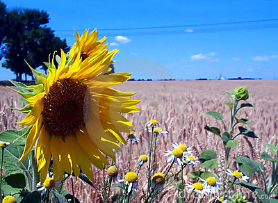 Blue sky, sunflower and wheat fields