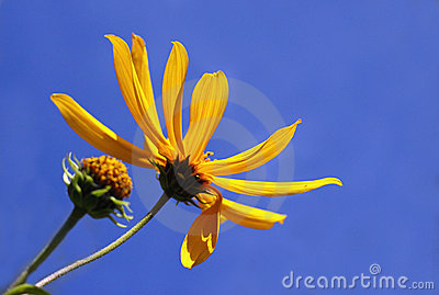 Blue Sky with Yellow Daisy