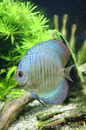 Blue Snakeskin Discus Fish