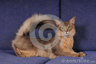 Blue somali male cat portrait