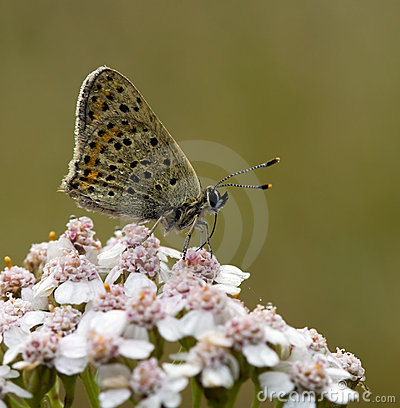 Blue Sooty Copper butterfly (Lycaena tityrus)