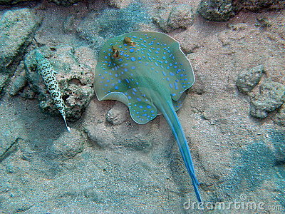 Blue Spotted Ray and Lizard Fish