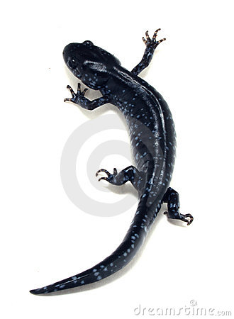 Blue Spotted Salamander (Ambystoma laterale)