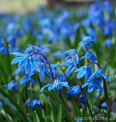 Free Blue Spring Flowers Stock Image - 14231091