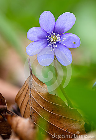 Free Blue Spring Wild Flower, Hepatica Nobilis Royalty Free Stock Image - 89542406
