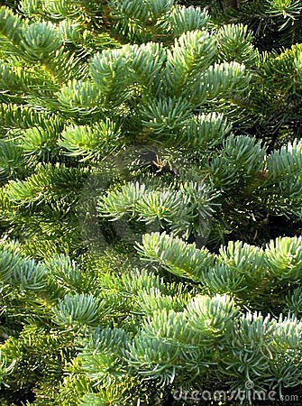 Free Blue Spruce Stock Images - 5546554