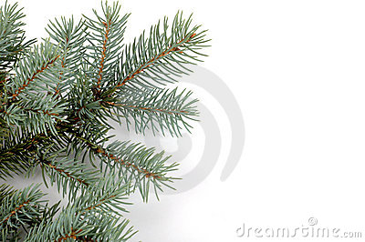 Blue Spruce Bough
