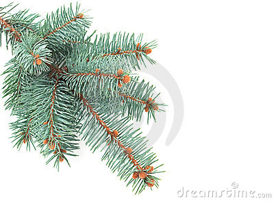 Blue Spruce Branch Stock Photos - Image: 17500673