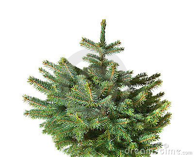 Blue spruce christmas tree,