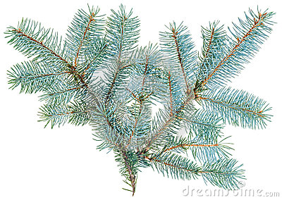 Blue spruce twig isolated on white