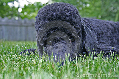 Blue Standard Poodle Hiding in Grass