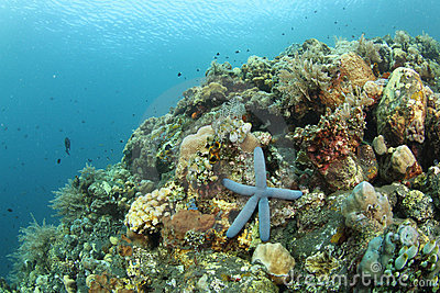 Blue starfish in tropical coral reef