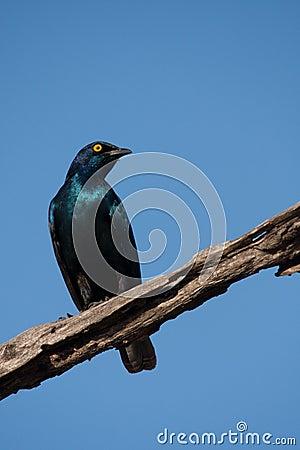 Blue starling bird