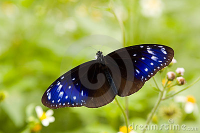 Blue stars on the wings (butterfly series)