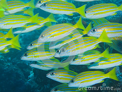 Blue-stripe Snapper, Great Barrier Reef, Australia