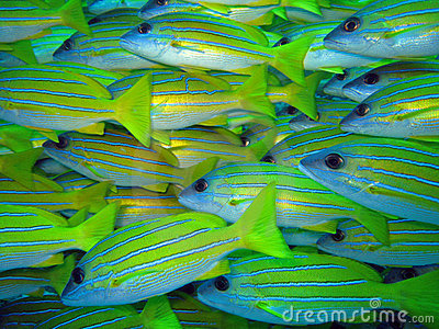 Blue stripe snappers