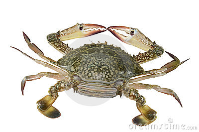Blue Swimming Crab (female)