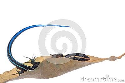 Blue tail skink lizard