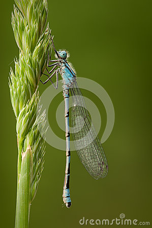 Free Blue-tailed Damselfly Stock Image - 25534891