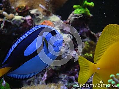 Blue tang, hepatus, yellow tang