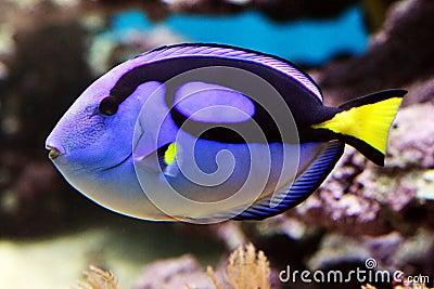 Blue tang - Paracanthursus hepatus