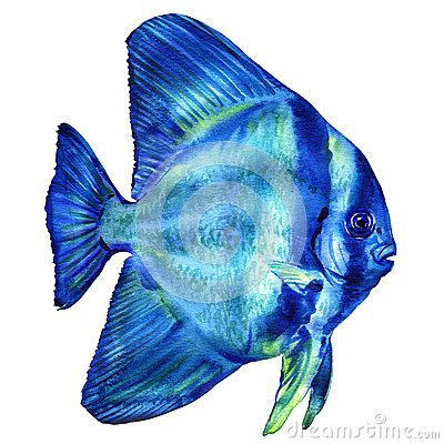 Free Blue Teira Batfish, Platax Or Spadefish In Ocean, Thailand, Isolated, Watercolor Illustration On White Stock Photography - 86723252