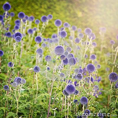 Free Blue Thistle Stock Image - 62402861