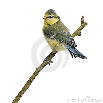 Blue Tit, 23 days old, perching on branch