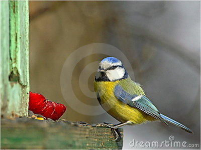 Blue tit on bird feeder