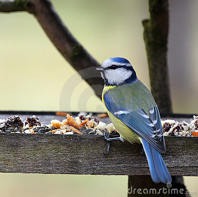 Blue tit in bird table