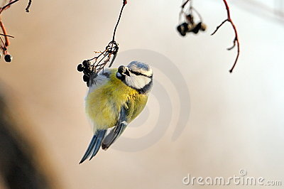 Blue tit on branch in winter